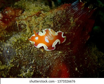 Closeup and macro shot of nudibranch Chromodorididae Variable noumea during leisure dive underwater diving in Sabah, Borneo.