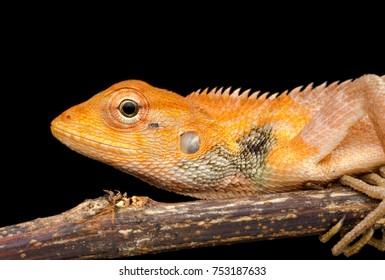 closeup macro shot of Oriental garden lizard - Calotes versicolor , Garden lizard , Changeable lizard at night/black background.