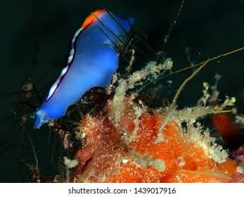 Closeup and macro shot of Red-tipped Flatworm in Mabul Island, Semporna, Tawau. Sabah, Malaysia. Borneo.