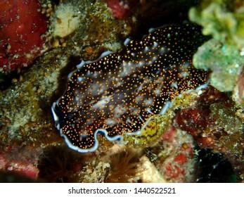 Closeup and macro shot of underwater flatworm Acanthozoon sp during a leisure dive in Tunku Abdul Rahman Park, Kota Kinabalu. Sabah, Malaysia. Borneo.