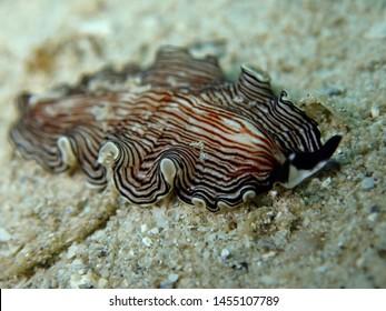 Closeup and macro shot of underwater flatworm Pceudoceros sp during a leisure dive in Tunku Abdul Rahman Park, Kota Kinabalu. Sabah, Malaysia. Borneo.
