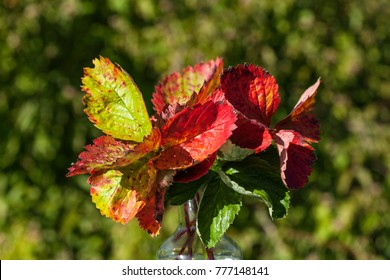 Closeup, macro of strawberry leaves. Colorfully autumn, fall shades. Part of a vase.