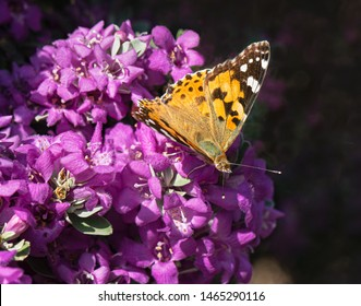 closeup macro of the top side of a painted lady butterfly feeding on magenta flowers of a texas sage shrub with a dark background