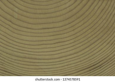 Closeup macro view of end cut wood tree section with annual rings. Natural photo.