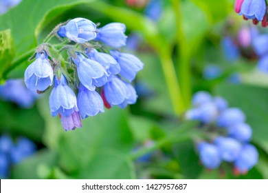 Closeup macro view of wild meadow plant with bunches of little blue, purle and pink flowers like bells, bright pink buds and large green leaves on summer meadow