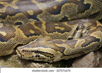 A close-up (macro) of a WILD African Rock Python (Python sebae) in Kenya, Africa.