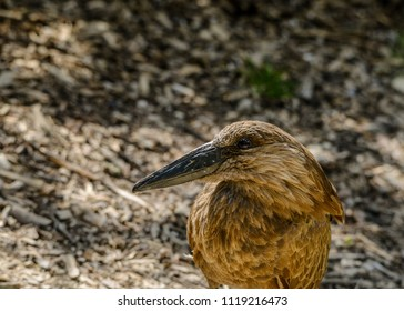 Closeup of a Madagasgar Teal bird with blurred background and space for text.