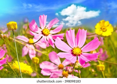 Closeup of Magenta and Yellow Wild Flowers. Background out of focus. Focus on foreground