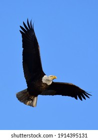 closeup of a magnificent american bald eagle in flight on a sunny wingter day at barr alke in brighton, colorado