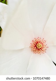 Closeup of a magnolia