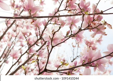 Closeup of magnolia tree blossom with blurred background and warm sunshine Spring season concept