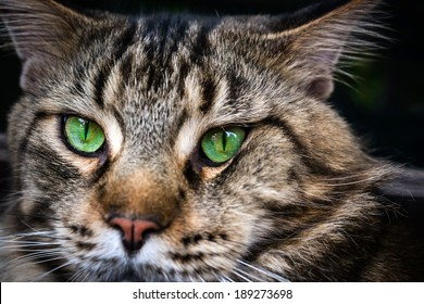 Closeup of Maine Coon black tabby cat with green eyes. Macro