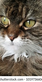 Closeup of Maine Coon cat
