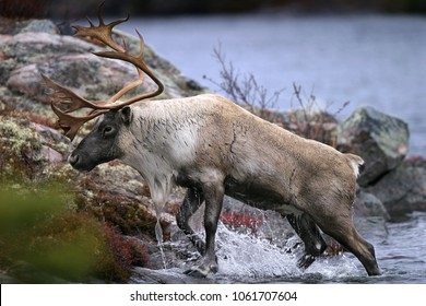 Closeup of a majestic Caribou coming out of the water onto the shoreline