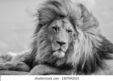 Closeup of a majestic young brown lion in black and white with huge mane during a South African Safari in a nature reserve