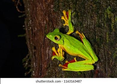 Closeup Malabar Gliding Frog or Rhacophorus Malabaricus frog at Amboli on a tree