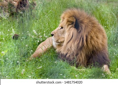Closeup of male African lion in grasslands