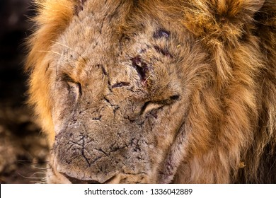 Close-up of male African lions face with detail view of battle scars and wounds. His face fills the frame with his eyes closed.