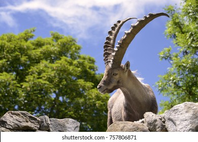 Closeup male Alpine ibex (Capra ibex) in the mountains of the Alps from around chamonix-Mont-blanc in France