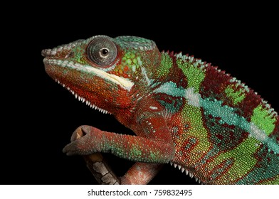 Close-up of a male Ambilobe Panther Chameleon (Furcifer pardalis)