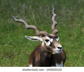 Closeup of the male blackbuck (Antilope cervicapra), also known as the Indian antelope