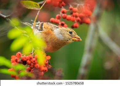 Closeup of a male brambling bird, Fringilla montifringilla, in winter plumage feeding orange berries of Sorbus aucuparia, also called rowan and mountain-ash in a forest during Autumn season