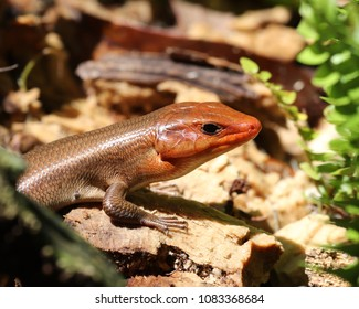 Closeup of a male Broadhead skink (Plestiodon laticeps) showing the vibrant mating color of his head and powerful jaw