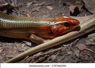 Close-up of a male broadhead skink in the wild.
