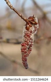 Close-up of male catkins of aspen on a branch in sunny spring day. The flowers of aspen (Populus tremula) - wind-pollinated catkins, close-up, natural blurred background
