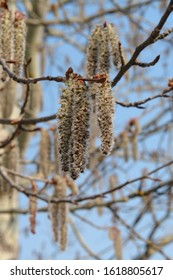 Close-up of male catkins of aspen on a branch against the light blue sky. The flowers of aspen (Populus tremula) - wind-pollinated catkins, close-up, natural blurred background