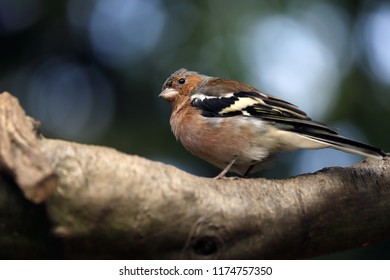 Close-up of male common chaffinch (Fringilla coelebs) on the tree branch. Photography of nature and wildlife.