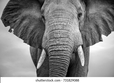 Close-up of a male elephant with tattered ears in monochrome