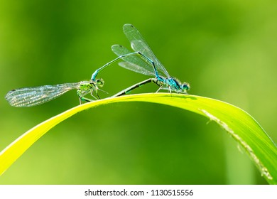 Close-up of a male and female blue-tailed damselfly or common bluetail Ischnura elegans making a mating pair in a heart or wheel shape.