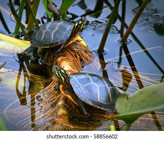 Closeup of male and female Painted box turtles resting on reeds and lily pad stems in crystal clear water.  one reptile facing left the other facing right. Fun, humorous expressions on their faces.