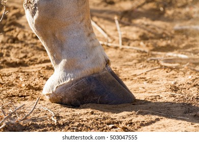 Closeup of a male giraffe hoof on the ground in Kruger National Park in South Africa
