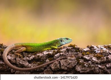 Close-up of a male green lizard (Lacerta viridis)