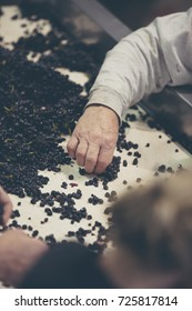 close-up of male hands sorting red wine grapes on a conveyor belt.