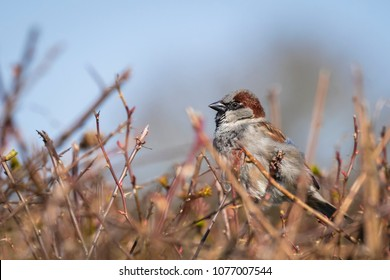 Closeup of a male House Sparrow bird (passer domesticus) foraging in a hedge