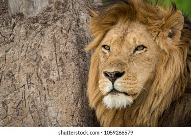 Close-up of male lion by scratched tree