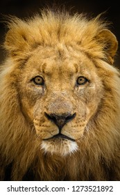 Closeup of a male lion looking straight at the camera.