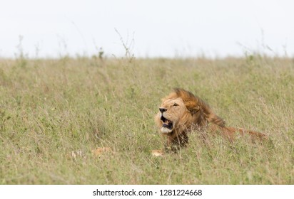 "Closeup of a  male Lion (scientific name: Panthera leo, or ""Simba"" in Swaheli)  in  Tanzania"
