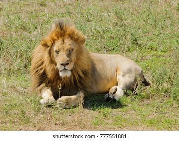 "Closeup of a male Lion (scientific name: Panthera leo, or ""Simba"" in Swaheli) image taken on Safari in the Ngorogoro National park, Tanzania"