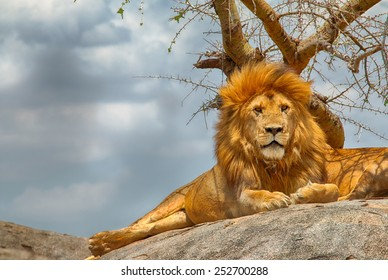 Closeup of male lion sitting on a rock facing straight, with menacing clouds in the background, at Serengeti National Park, Tanzania