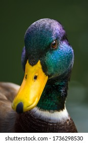 Close-up of male mallard head and beak