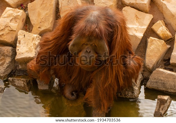closeup-male-orangutans-sitting-600w-193