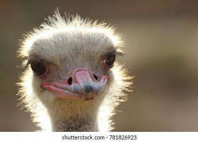 Close-up of male ostrich