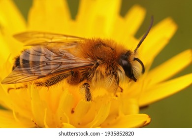 Closeup of a male of the pantaloon bee or hairy-legged mining bee, Dasypoda hirtipes on a yellow Oxytongue , Picris ,  flower