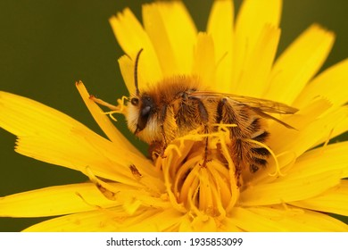 Closeup of a male of the pantaloon bee or hairy-legged mining bee, Dasypoda hirtipes on a yellow Hawkweed, Hieracium,  flower