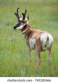 Closeup of a Male Pronghorn Antelope Standing in the Grass and Flowers