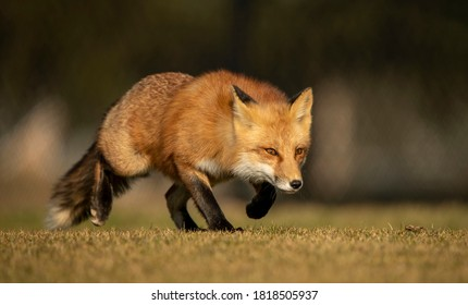 Closeup of a Male Red Fox Hunting and Stalking Prey